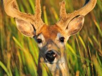 deer-hiding-in-grass